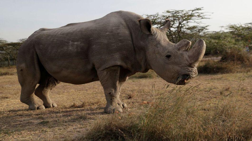 skynews-white-rhino-sudan_4260300